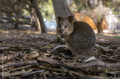 Cute baby qoakka eating a leaf. Rottnes Island, Western Australia