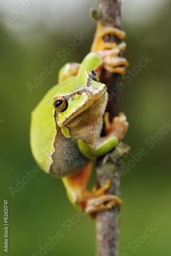Tuinposter Kikker cute european green tree frog
