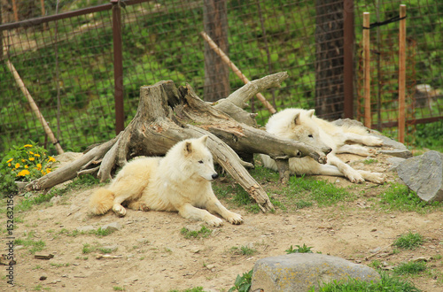 Fototapeta two beautiful white arctic wolves (Canis lupus arctos) having rest near the big