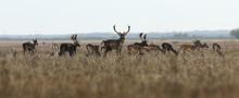 Fallow Deer Large Herd