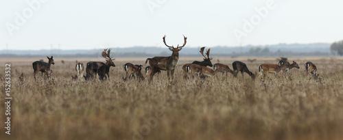 Poster Cerf fallow deer large herd