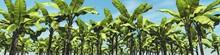 Banana Grove, Palm Trees Again...