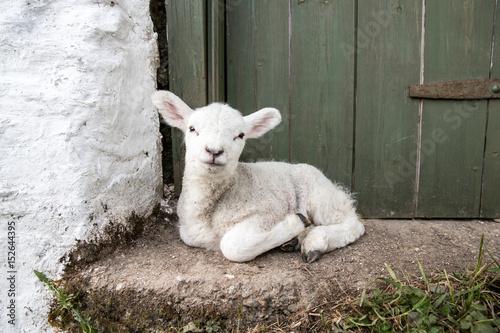 Fotografija Cute adorable baby lamb sat on a farmers doorstep