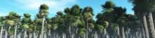 Palm Grove, Mexican Palm Trees, Panorama Of Palm Trees, A Grove Of Mexican Palms, 3d Rendering