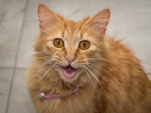 Ginger Cat Meowing