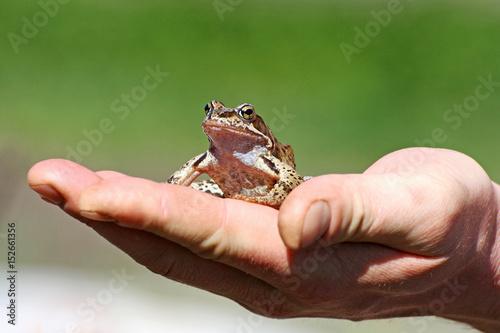 Fotografie, Obraz  Frog on hand.
