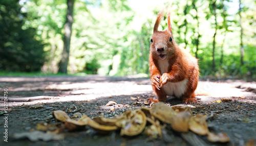 Fotobehang Eekhoorn Eichhörnchen im Park