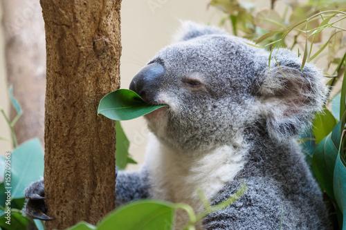 Staande foto Koala 笹を食べるコアラ
