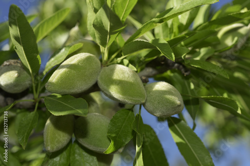 branch of almond tree with green almonds Fototapeta