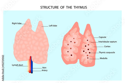 Anatomy of the thymus gland. Structure of the thymus. - Buy this ...
