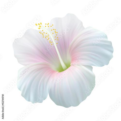 Реалистичный белый гибискус, китайская роза.