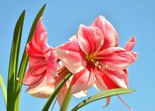 A Bouquet Of Amaryllis Pink Fl...