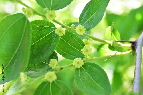 Valokuva  Jojoba blooming  tree