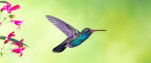 Broad-billed Hummingbird In Fl...