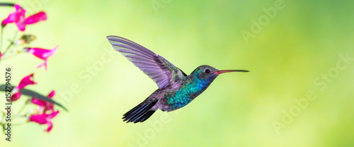 Photo Broad-billed Hummingbird in flight