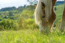Horse Grazing In A Pasture Wit...