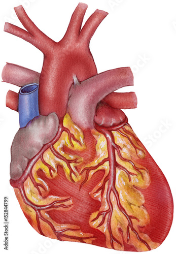 Human heart - anterior view - showing the coronary arteries, aortic ...