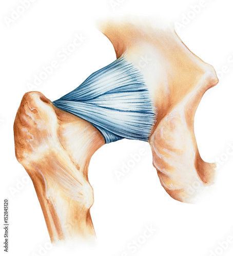 Hip joint capsule ligaments, dorsal view. Shown are the iliofemoral ...