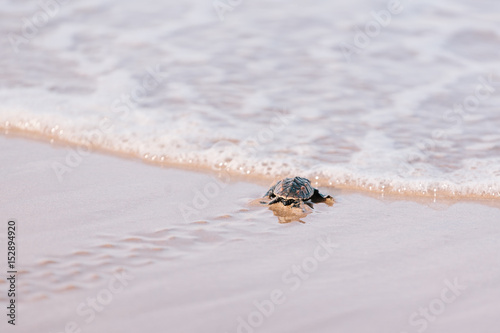 Poster Tortue Newly hatched baby turtle toward the ocean