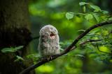 Fototapeta Zwierzęta - Ural owl (Strix uralensis) - Puszczyk uralski