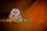 Fototapeta Zwierzęta - Tawny owl (Strix aluco) - Puszczyk zwyczajny
