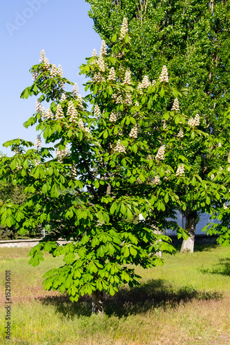 Blossoming chestnut tree (Aesculus hippocastanum) in park Wallpaper Mural