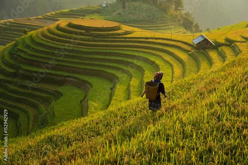 Garden Poster Rice fields Rice terrace on during sunset ,Vietnam,vietnam rice terrace,rice field of vietnam,terrace rice field,mu chang chai rice field