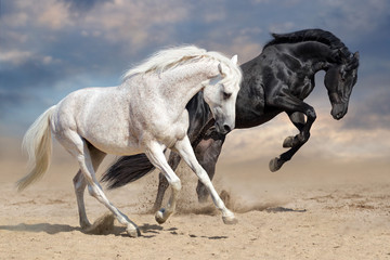 Fototapeta Black and white horses run in desert dust