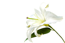 White Lily Flower Closeup Isol...
