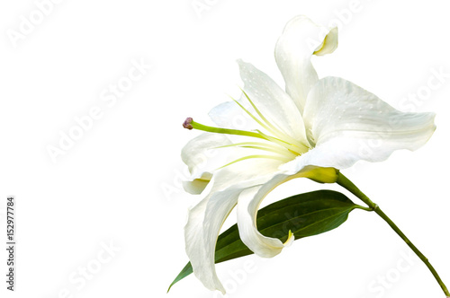 Photo  White lily flower closeup isolated on white