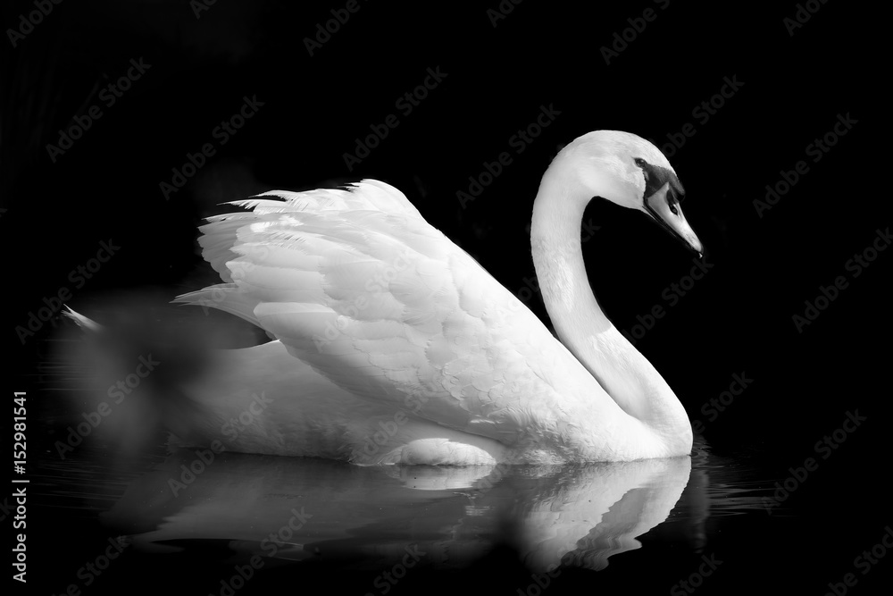 cygne oiseau noir et blanc plume gracieux élégant romantique amour animal