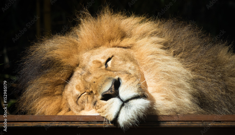 Fototapeta Close up sleeping lion
