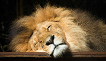 Close Up Sleeping Lion