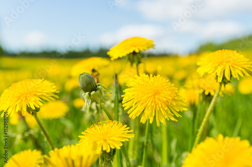 Fotografie, Obraz  Blooming dandelion flowers (Taraxacum officinale) on spring time.