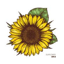 Sunflower Vintage Engraved Illustration. Sunflower Isolated . Vector Illustration