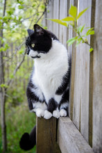 Black And White Cat Sitting On The Fence