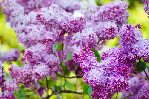 Fotobehang Lilac Branch of lilac flowers with green leaves, floral natural macro background, soft focus