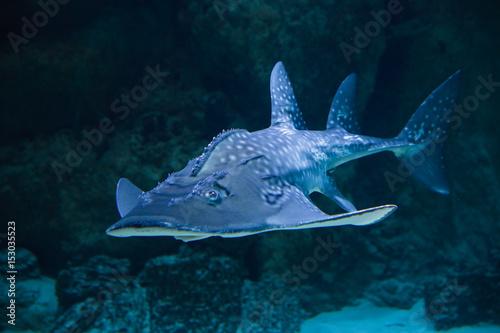 Shark sea angel in aquarium