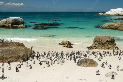 Brillenpinguine am Strand vom Boulders Beach, nahe Kapstadt Canvas-taulu