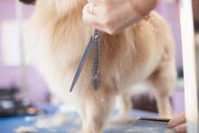 Dog Pomeranian Haircut Women Master Grooming Dogs In A Salon