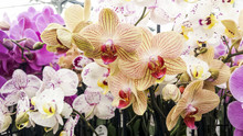Orchid Flowers. Moth Or Phalaenopsis Orchids, Beautiful Colorful Background.