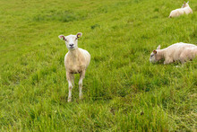Recent Shaved Sheep Proudly Looks At The Photographer