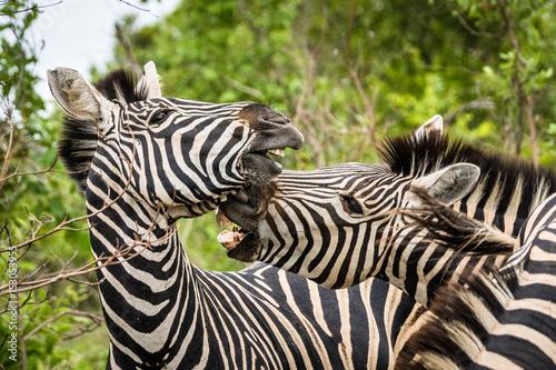 Aluminium Prints Zebra Kämpfende Zebrahengste auf Safari im Krüger Nationalpa