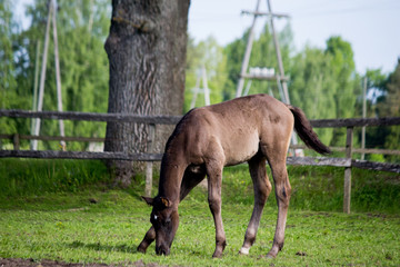 Brown foal grazing at the pasture