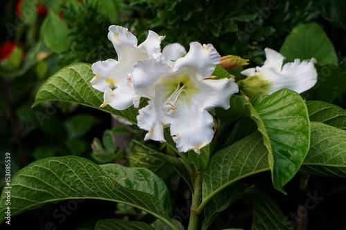 Fototapeta Beaumontia grandiflora obraz na płótnie