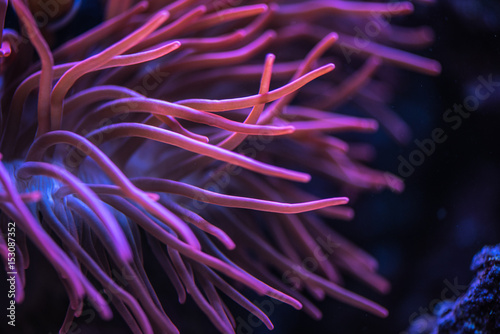 Macro shoot of anemone tentacles in pink color