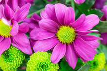 Purple Chrysanthemums, Fresh F...