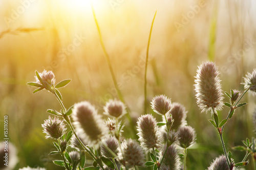 Foto op Canvas Madeliefjes Summer flowering grass