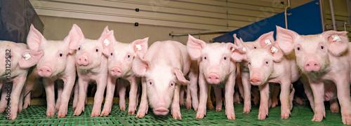 Lustige Ferkelgruppe im modernen Schweinestall, Banner