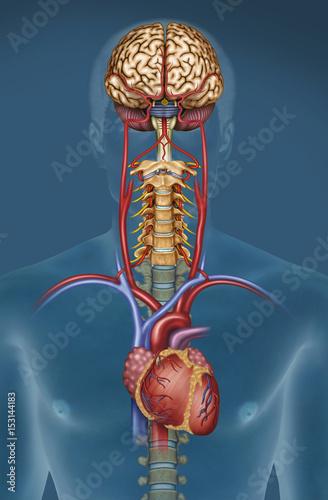 mozg-krew-serce-tetnica-zyly